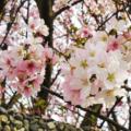 陽明山平等里櫻花