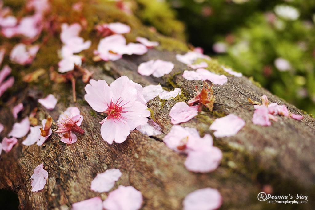 拉拉山 · 恩愛農場 滿開粉嫩櫻花如夢似幻