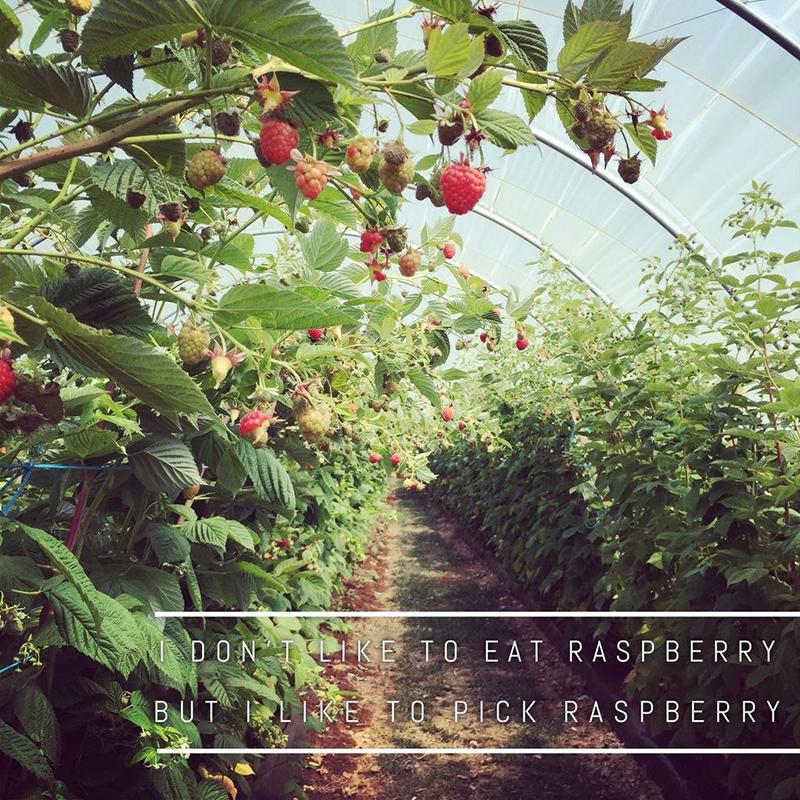 澳洲打工渡假|Costa Berry Exchange 採覆盆莓