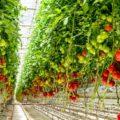 costa番茄工廠