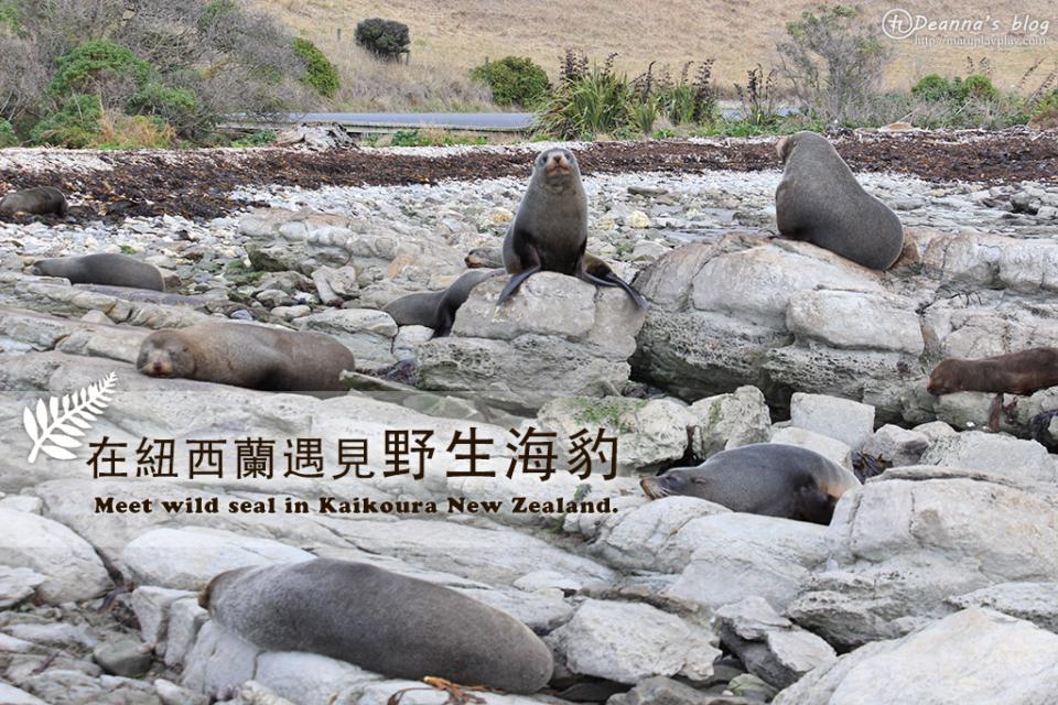 紐西蘭南島 凱庫拉 前進野生海豹棲息地