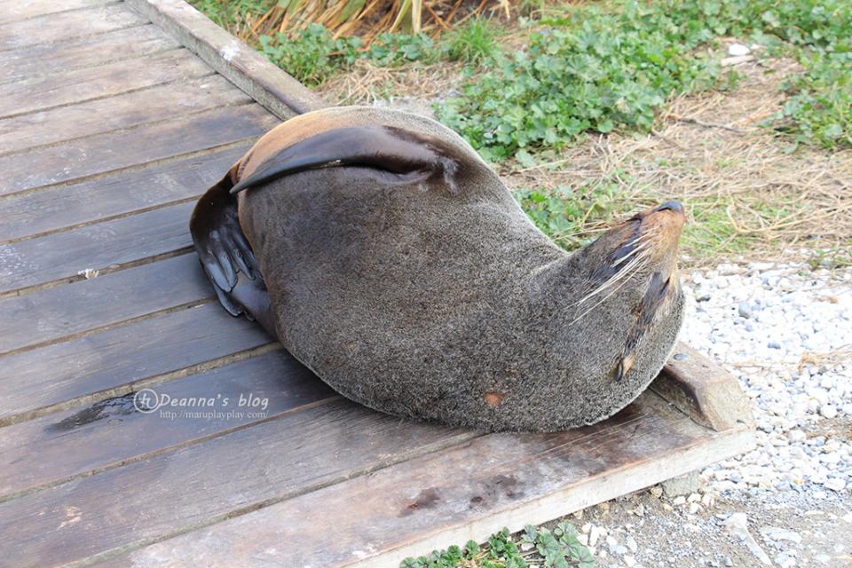 紐西蘭凱庫拉海豹