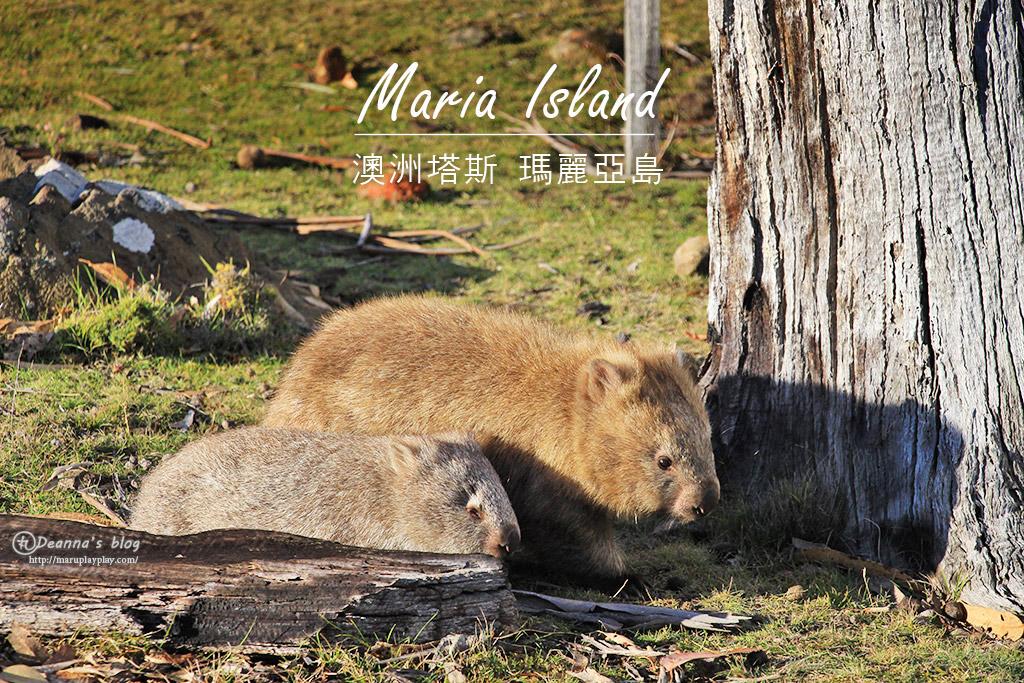 澳洲塔斯旅遊|瑪麗亞島Maria Island 袋熊天堂