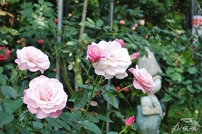 新生公園玫瑰展