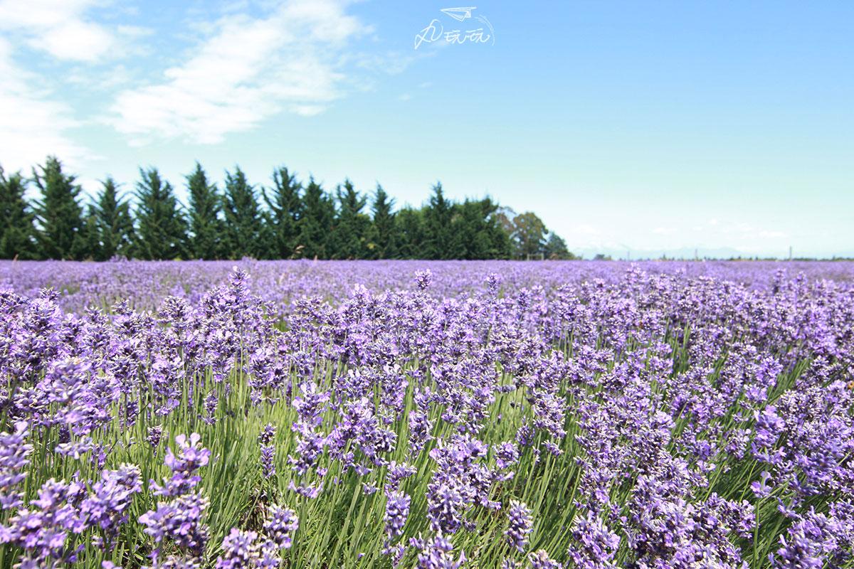 紐西蘭薰衣草農場免費