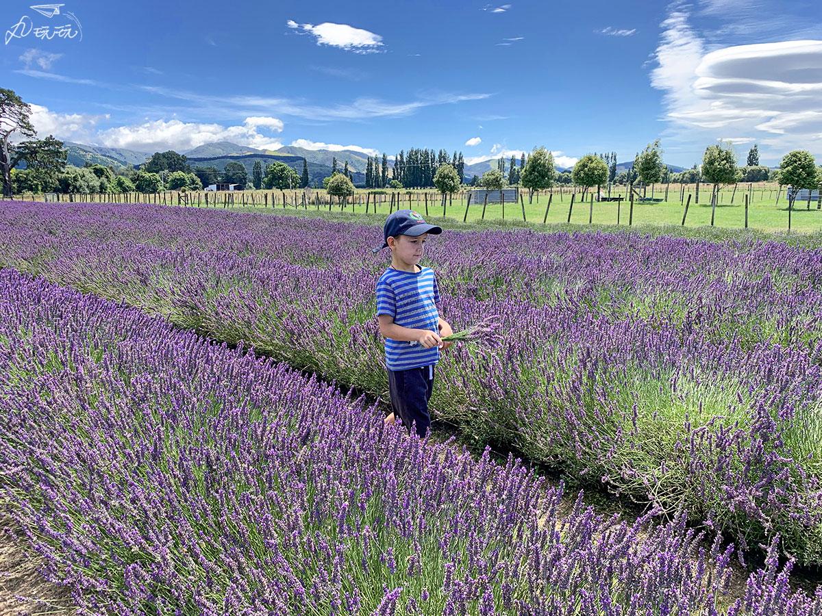 紐西蘭薰衣草田