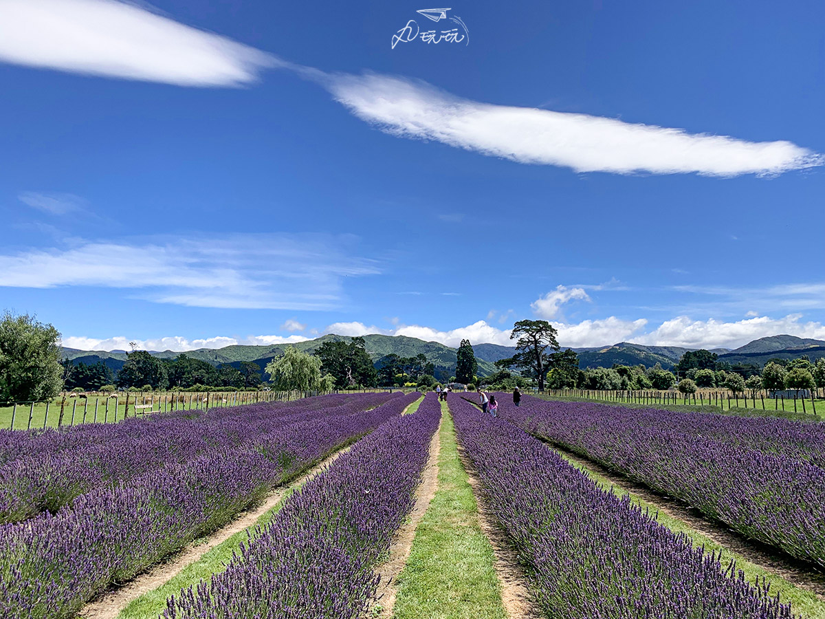 紐西蘭薰衣草花海