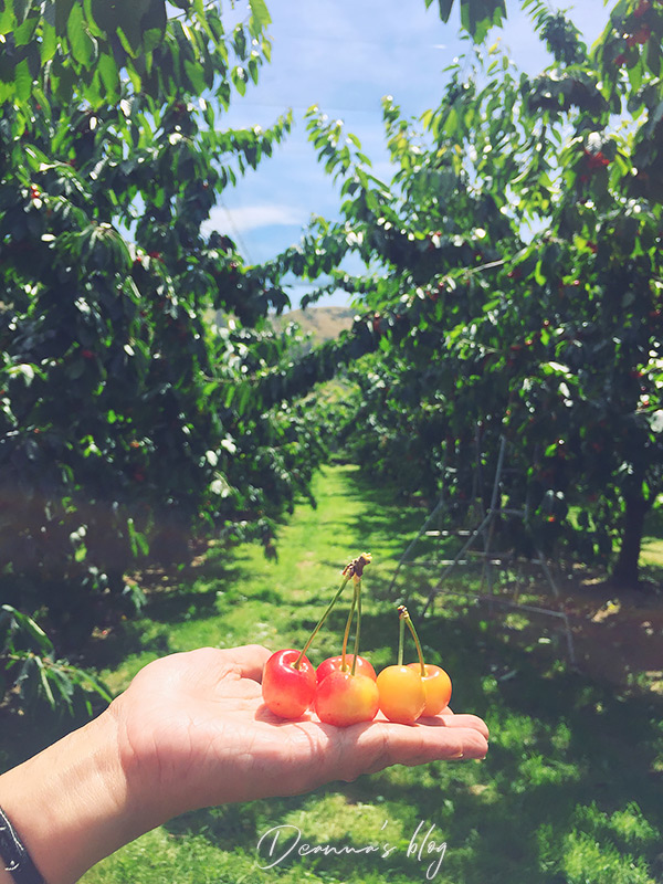 紐西蘭白櫻桃