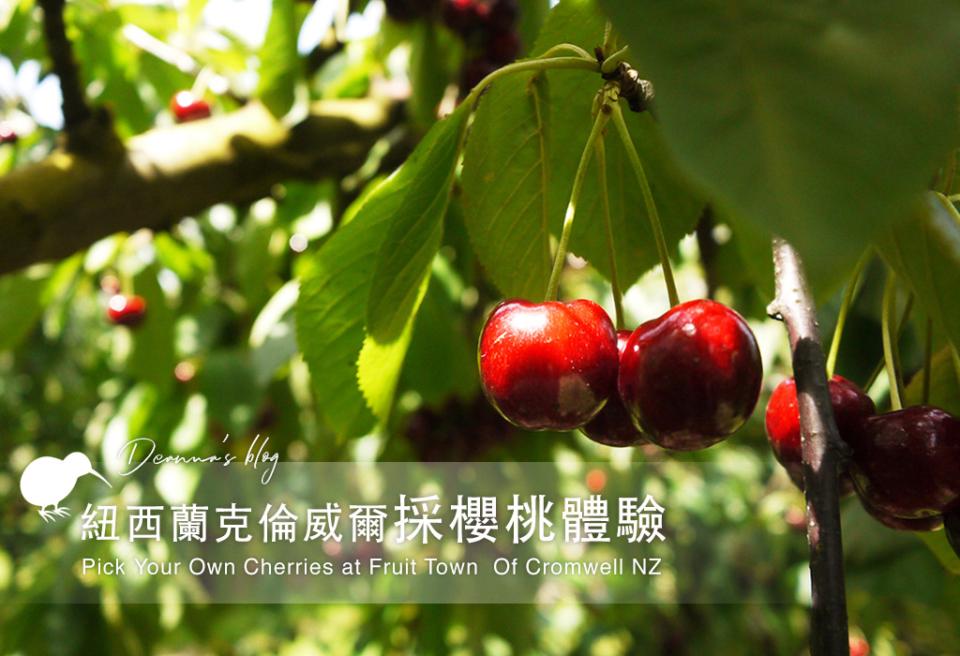 紐西蘭旅遊|Cromwell採櫻桃體驗 稀有白櫻桃採好採滿