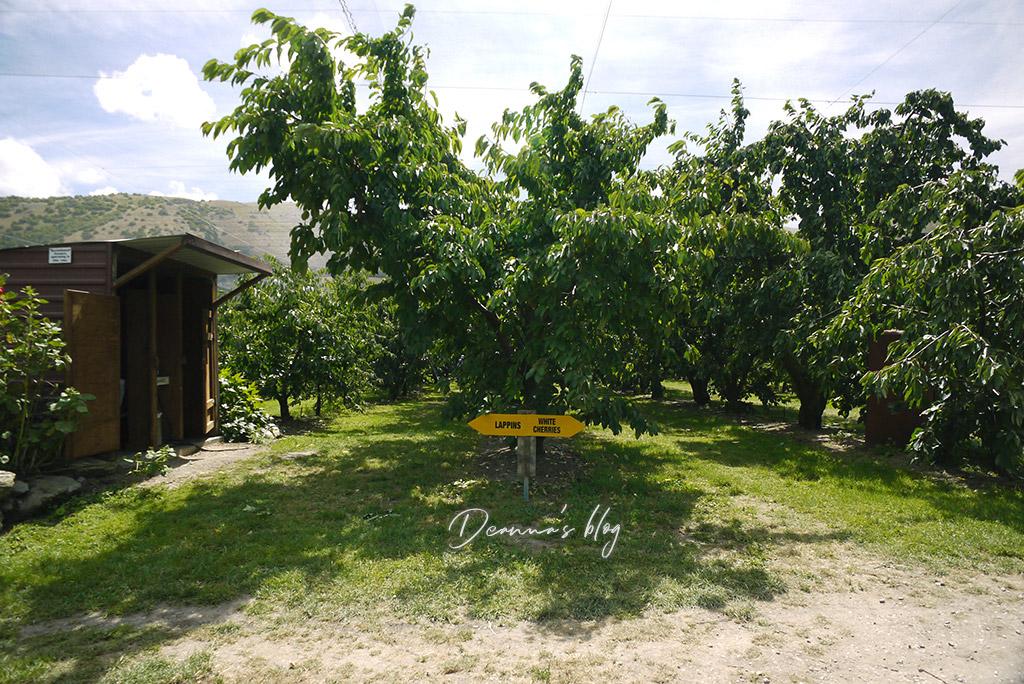 紐西蘭採櫻桃